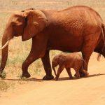 Animals Jigsaw Puzzle – Elephants
